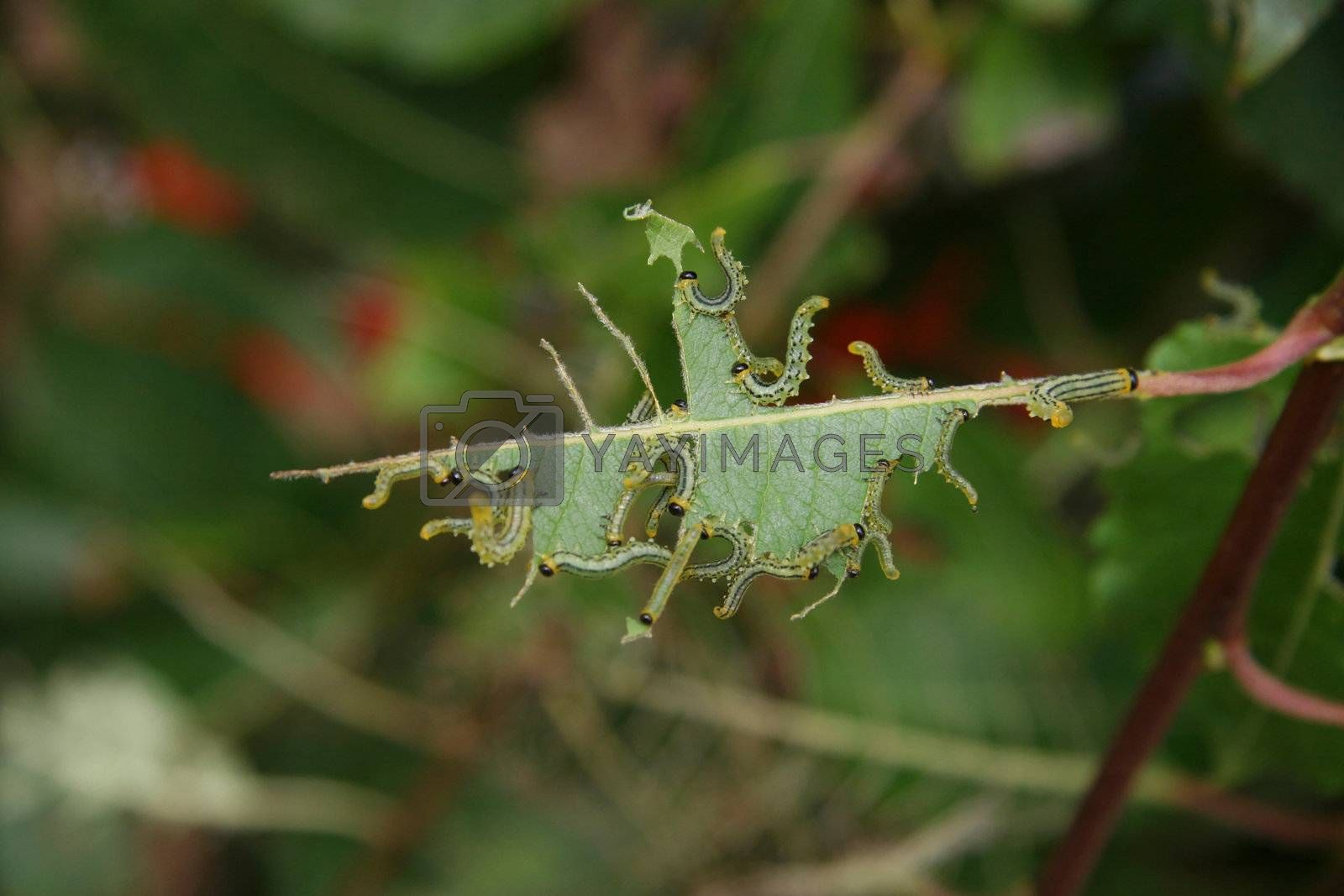 a group of caterpillers eating on a leaf