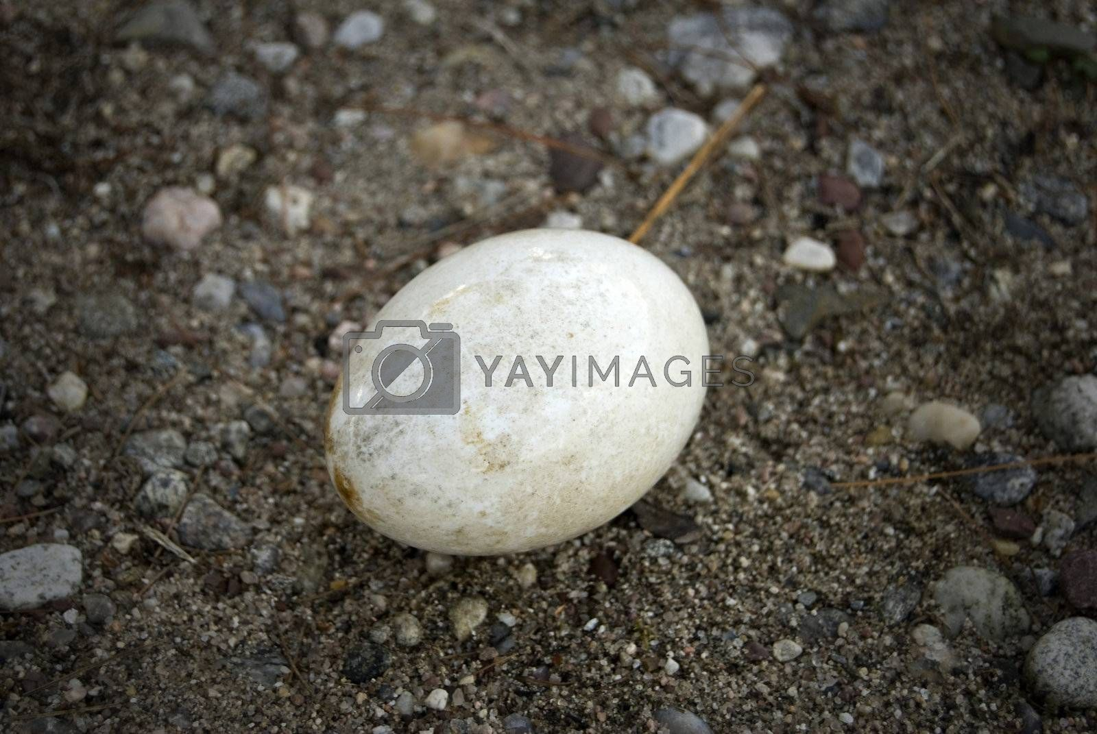 A lonely white goose or duck egg that looks to have washed ashore.