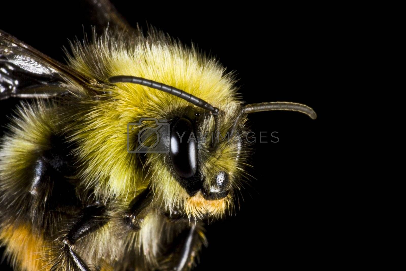 bumblebee in close up. insect