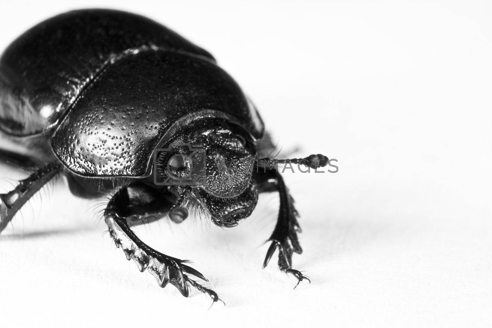 black bug in upper left corner on white background with nice antenna and impressive legs