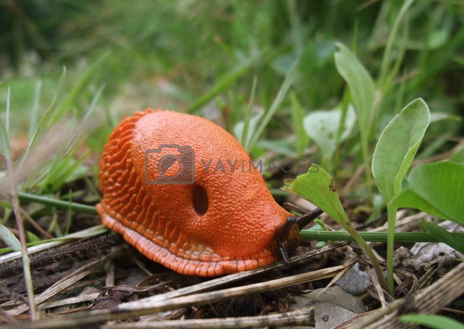 surface shot of a red slug while creeping on the ground in green back