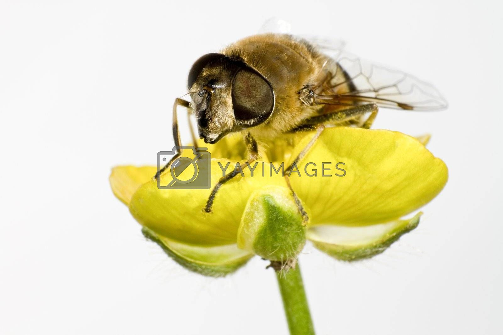 bee on yellow flower in extreme close up on white background