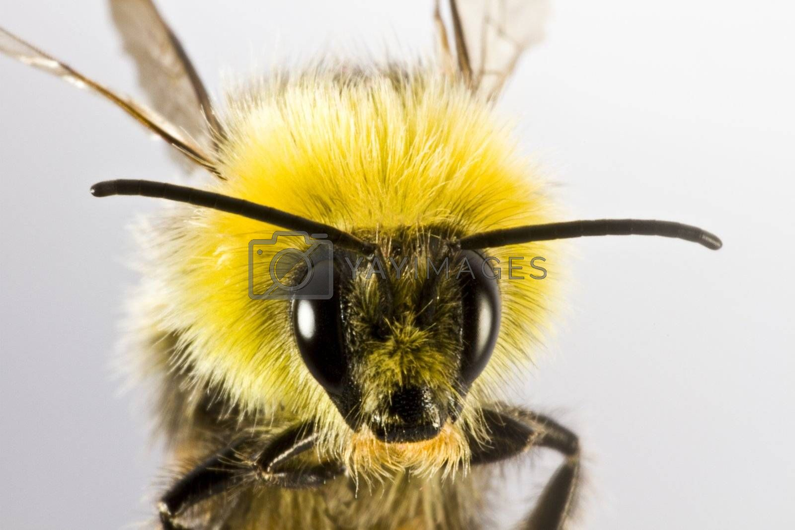 bumblebee in close up on light background
