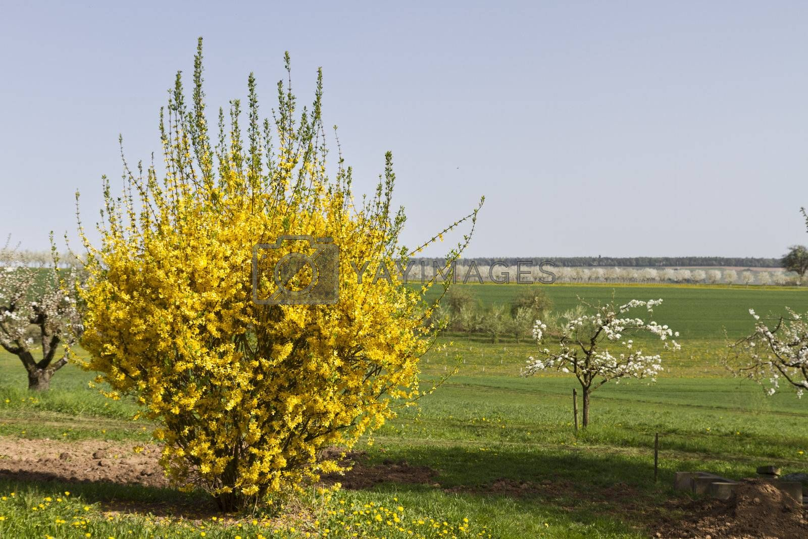 outdoor landscape with yellow scrub and grassland