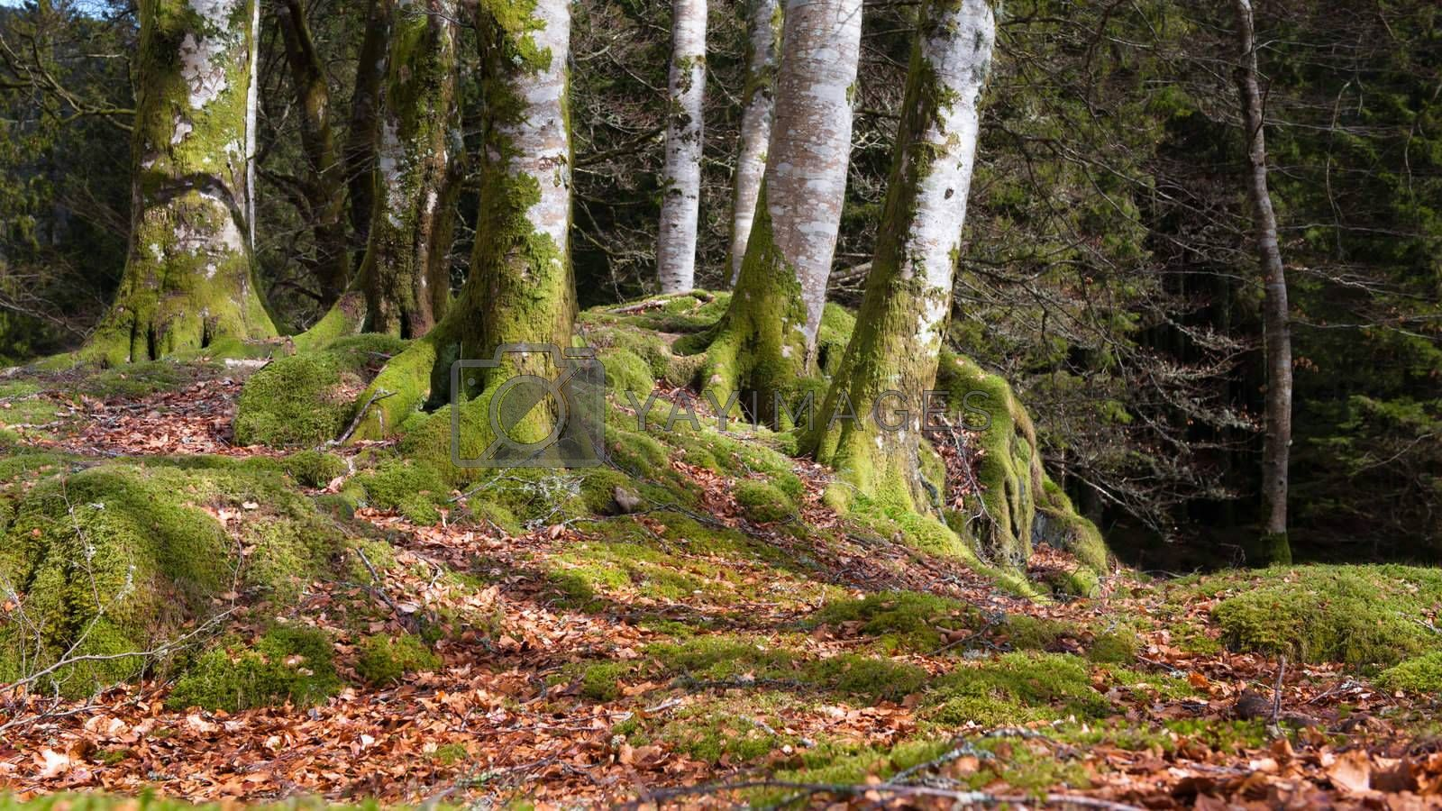 Ceveral trees in Norwegian forrest at autumn