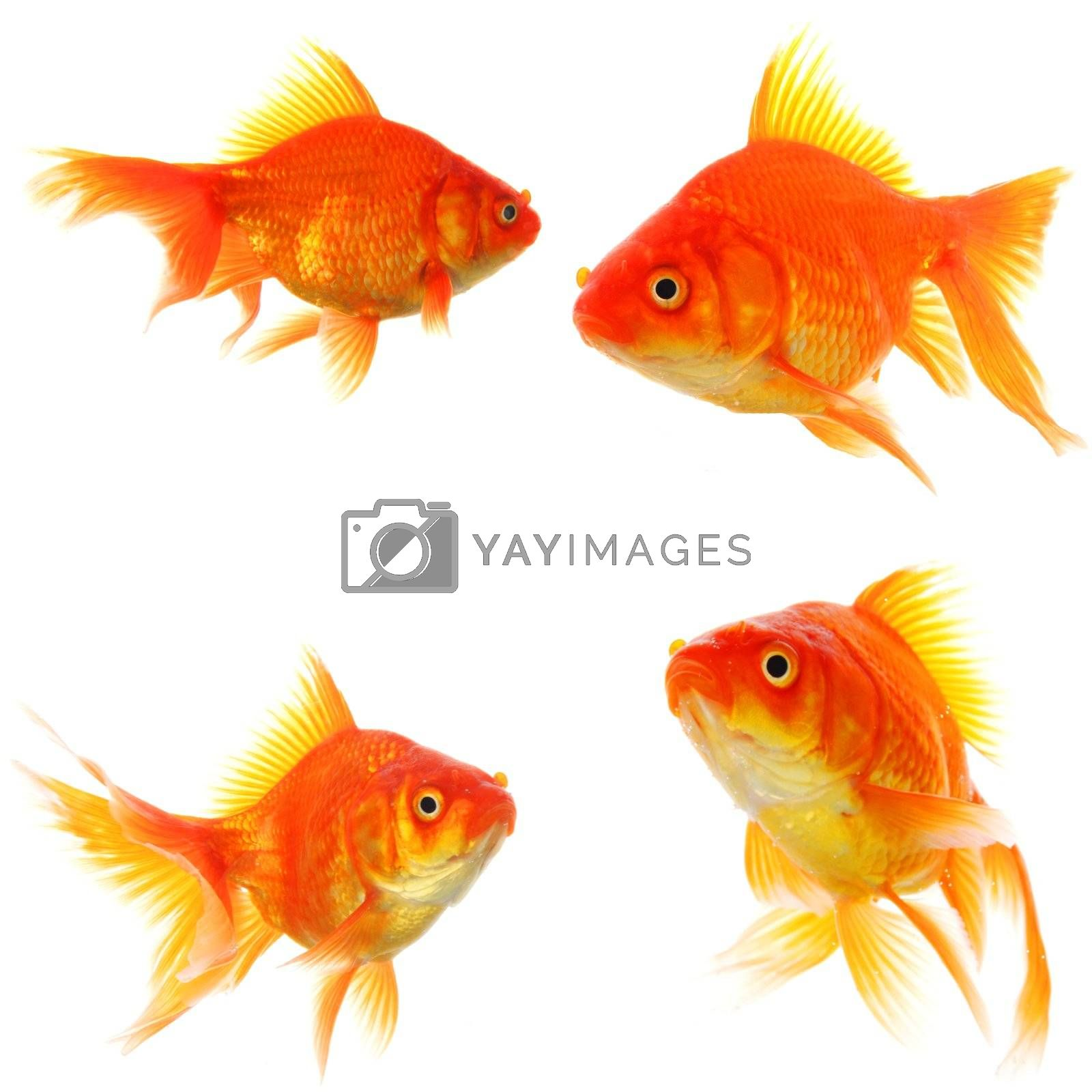 goldfish collection or group or fishes isolated on white background
