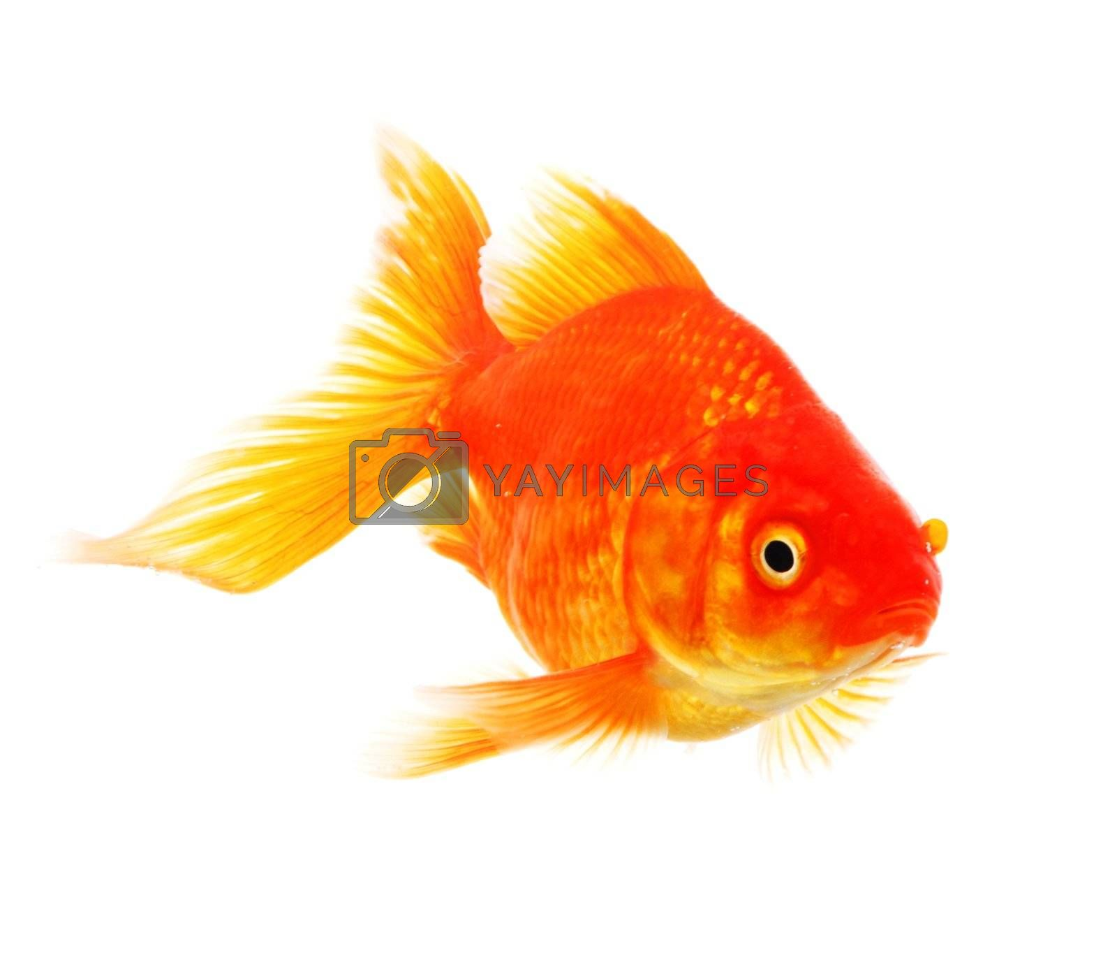 Royalty free image of goldfish by gunnar3000