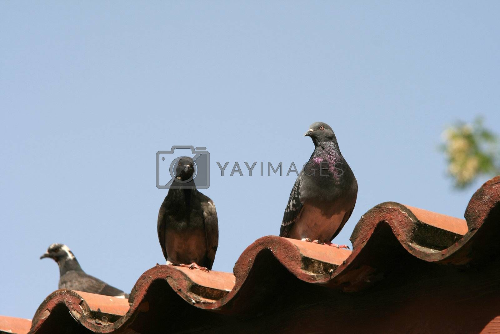 three pigeons on roof and blue sky background animals and nature