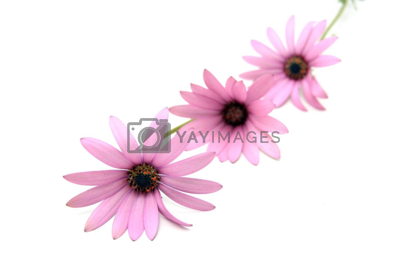 beautiful flowers over white background