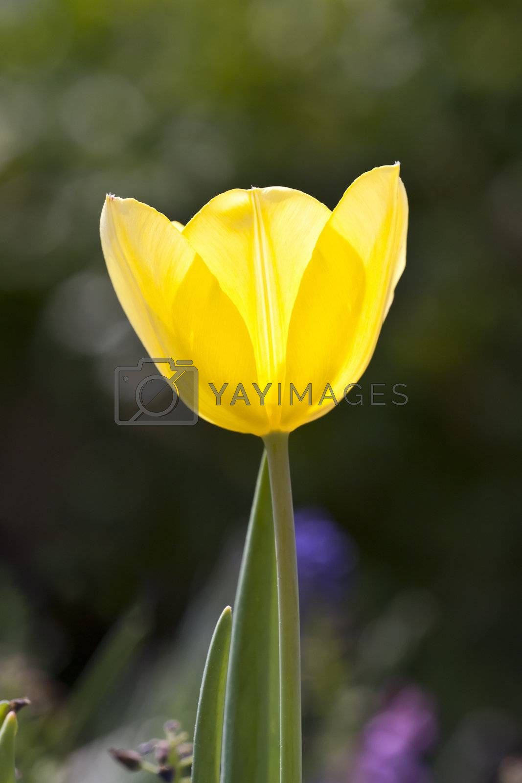 An image of a beautiful yellow tulip in the garden