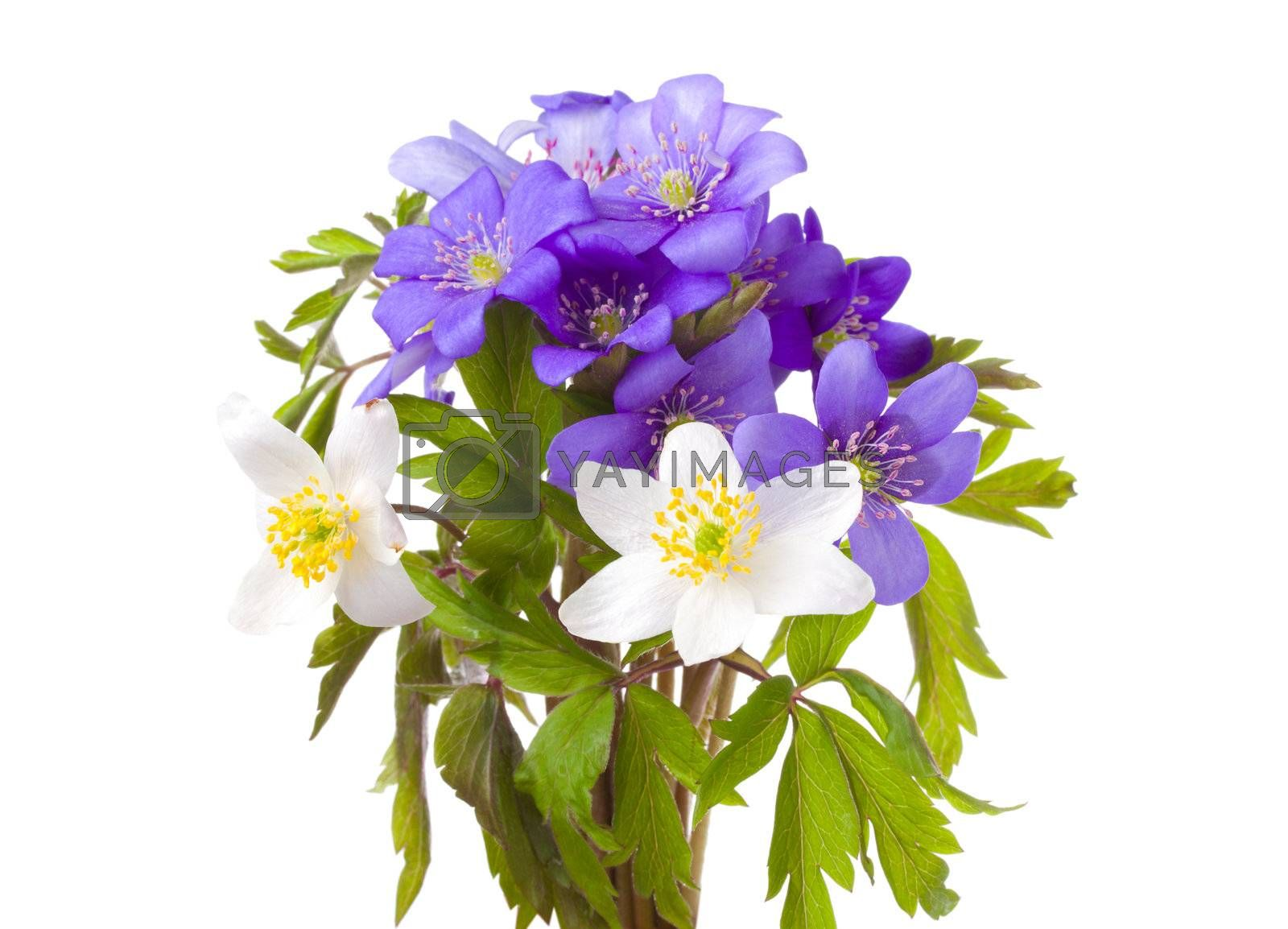 close-up bouquet from hepatica and anemone flowers, isolated on white