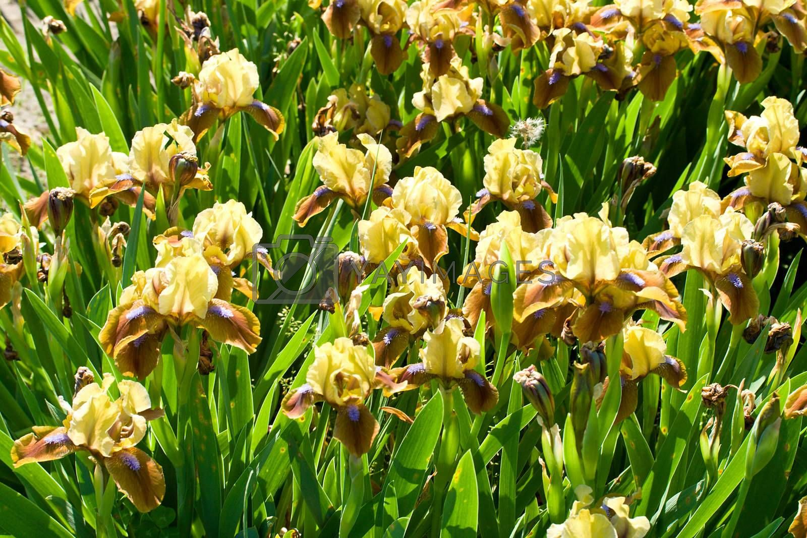 close-up yellow-brown-purple irises on field