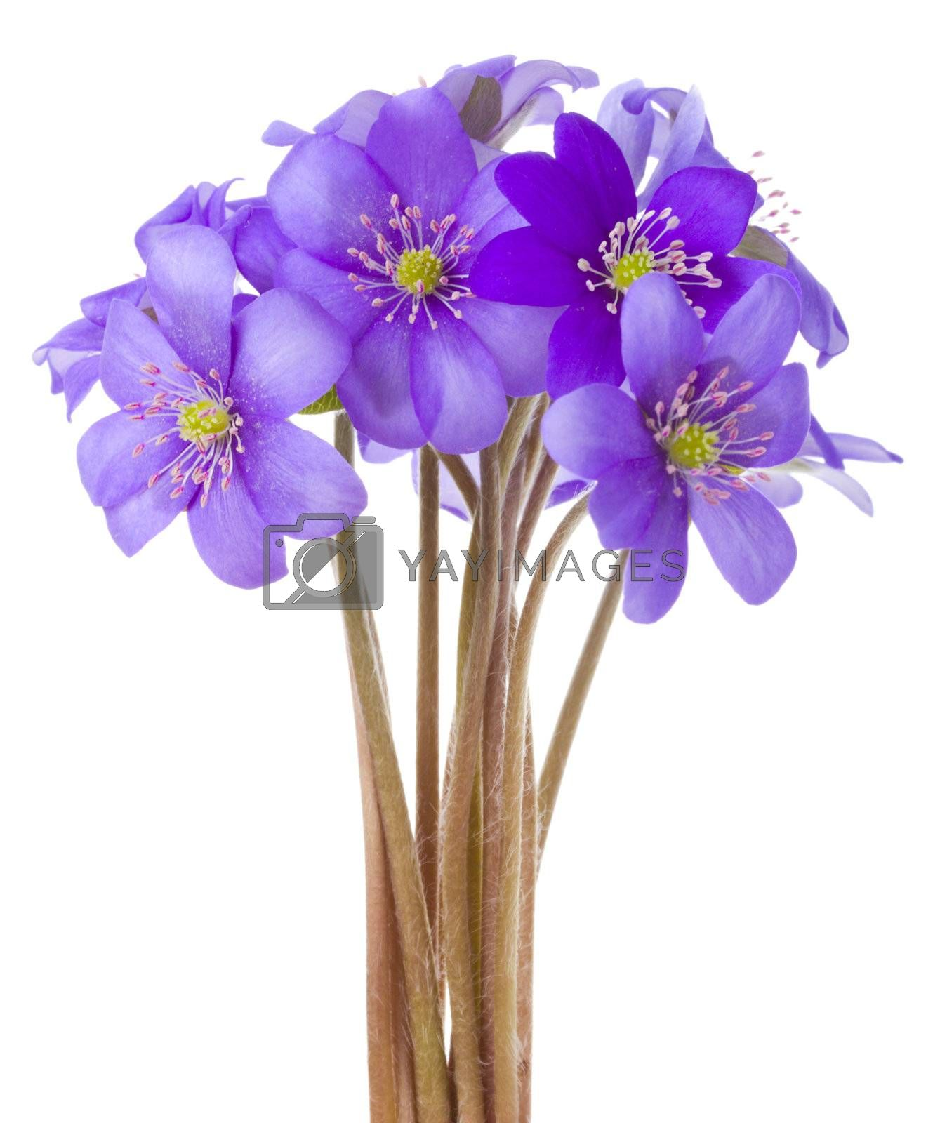 close-up hepatica flowers, isolated on white