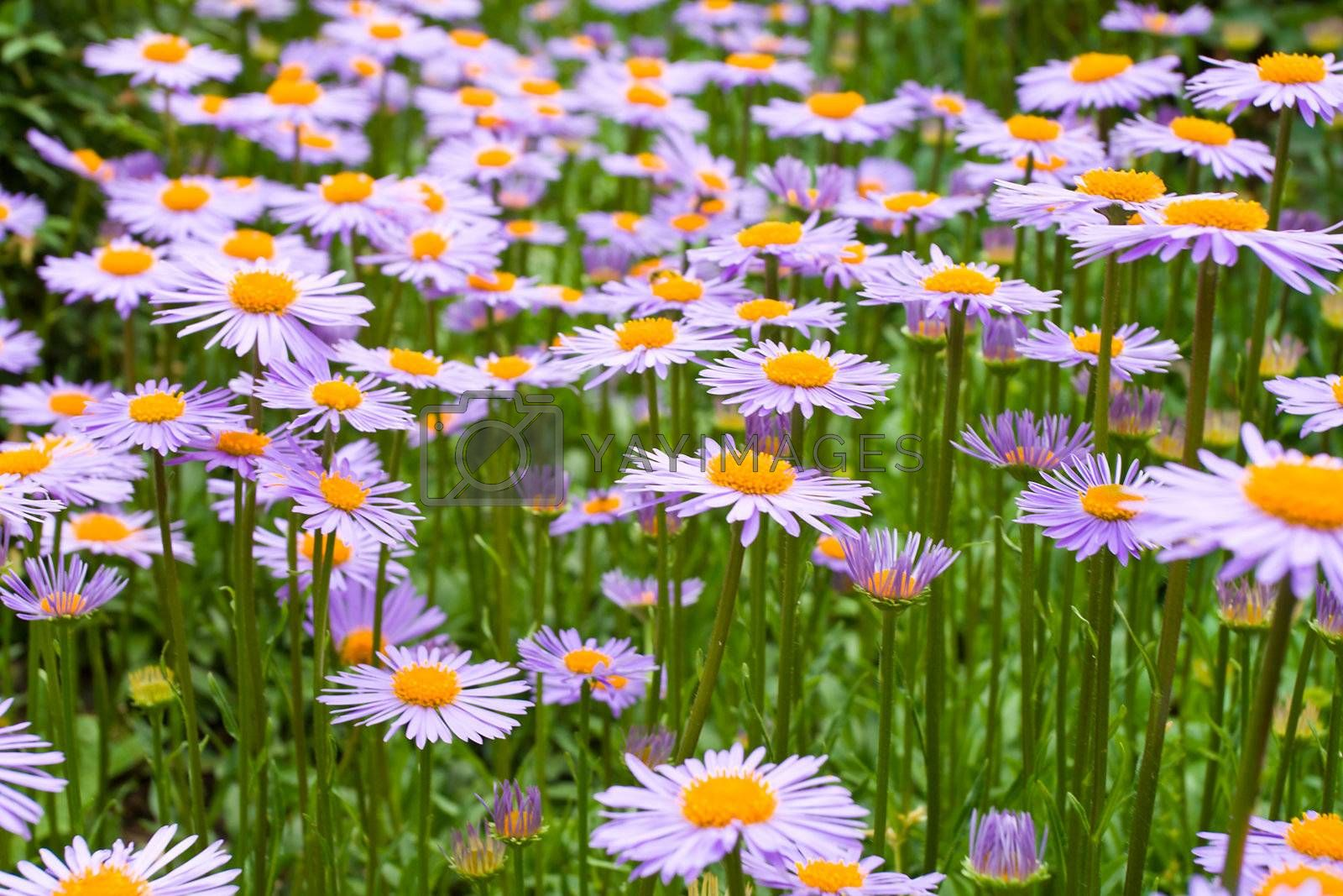 meadow with purple daisies flowers