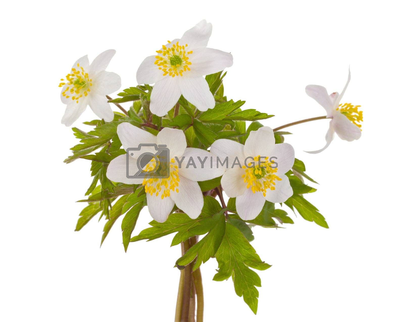 close-up white anemone flowers, isolated on white
