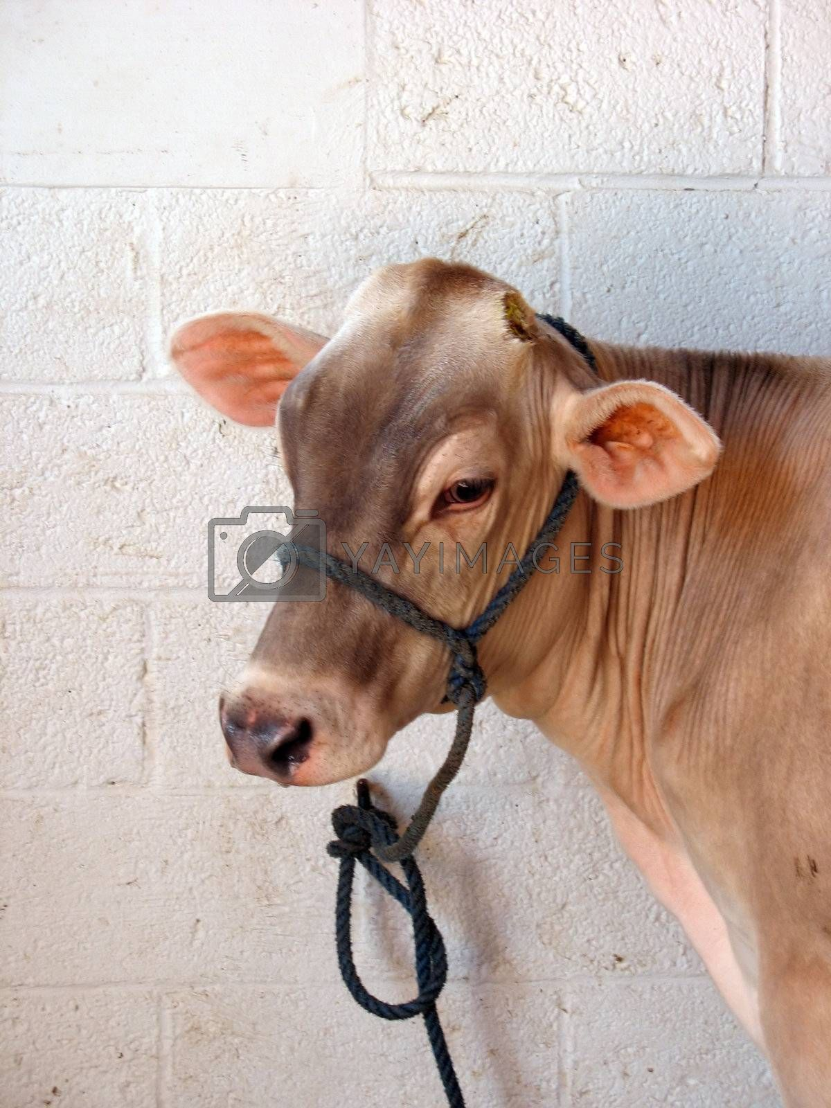 A lonely cow hanging out in the dairy barn.