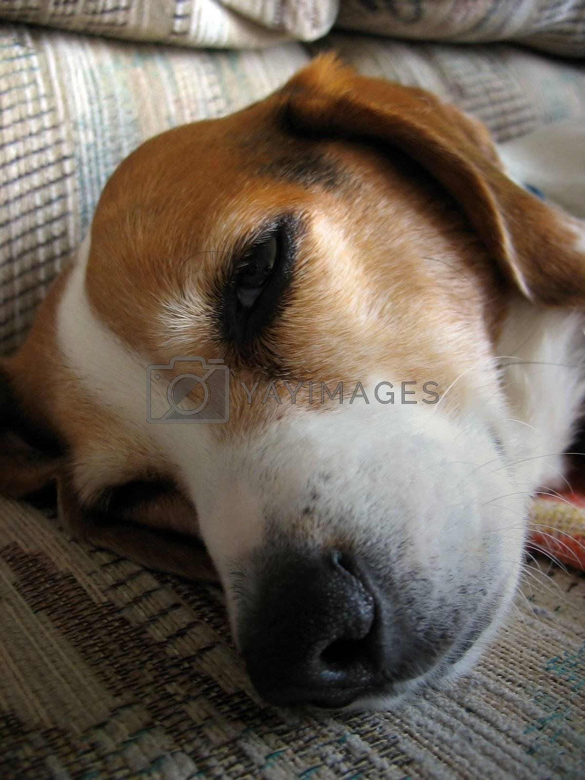 A macro shot of a sleepy beagle dog's nose and face.