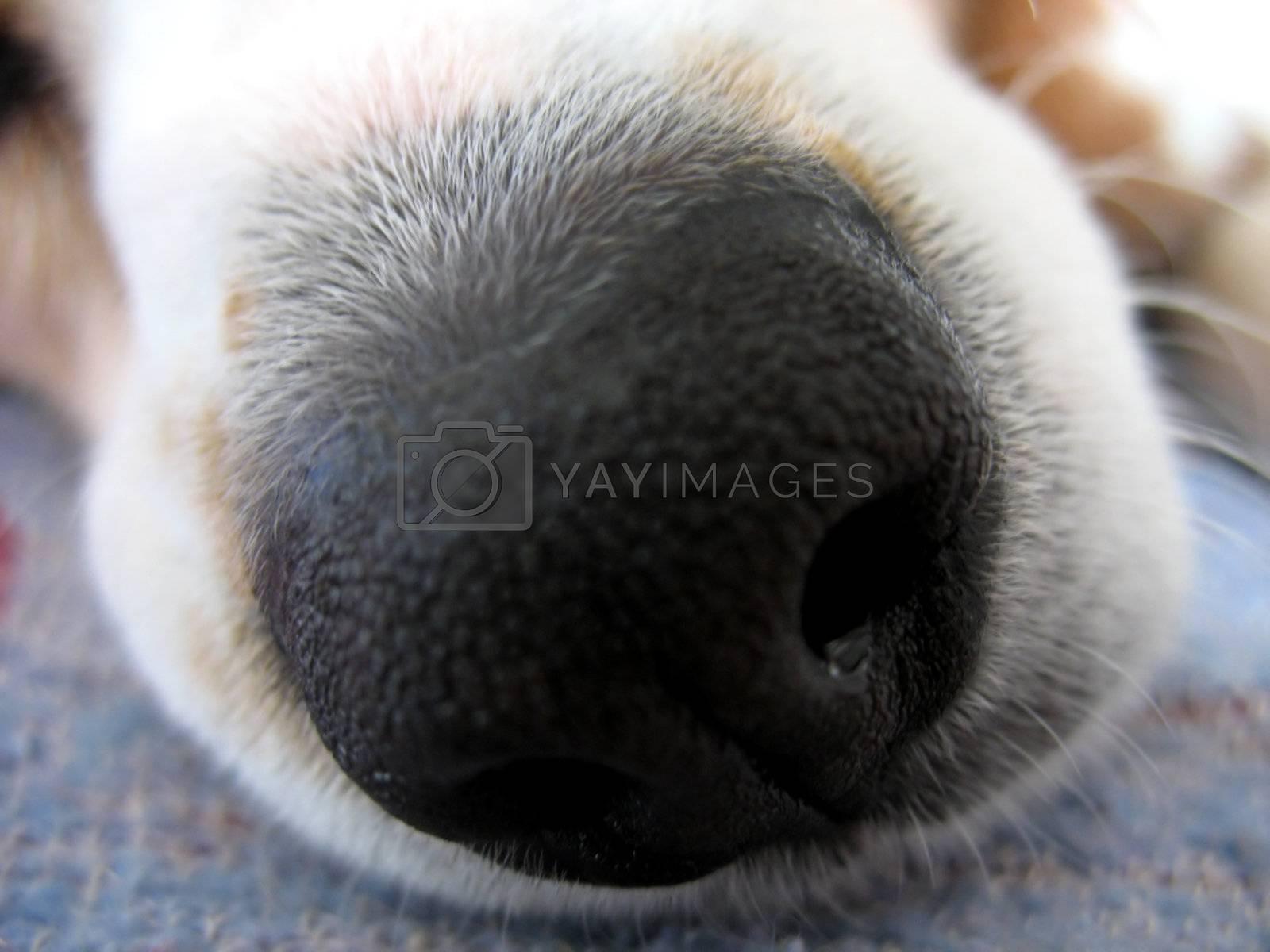 A macro shot of a beagle dog's nose.