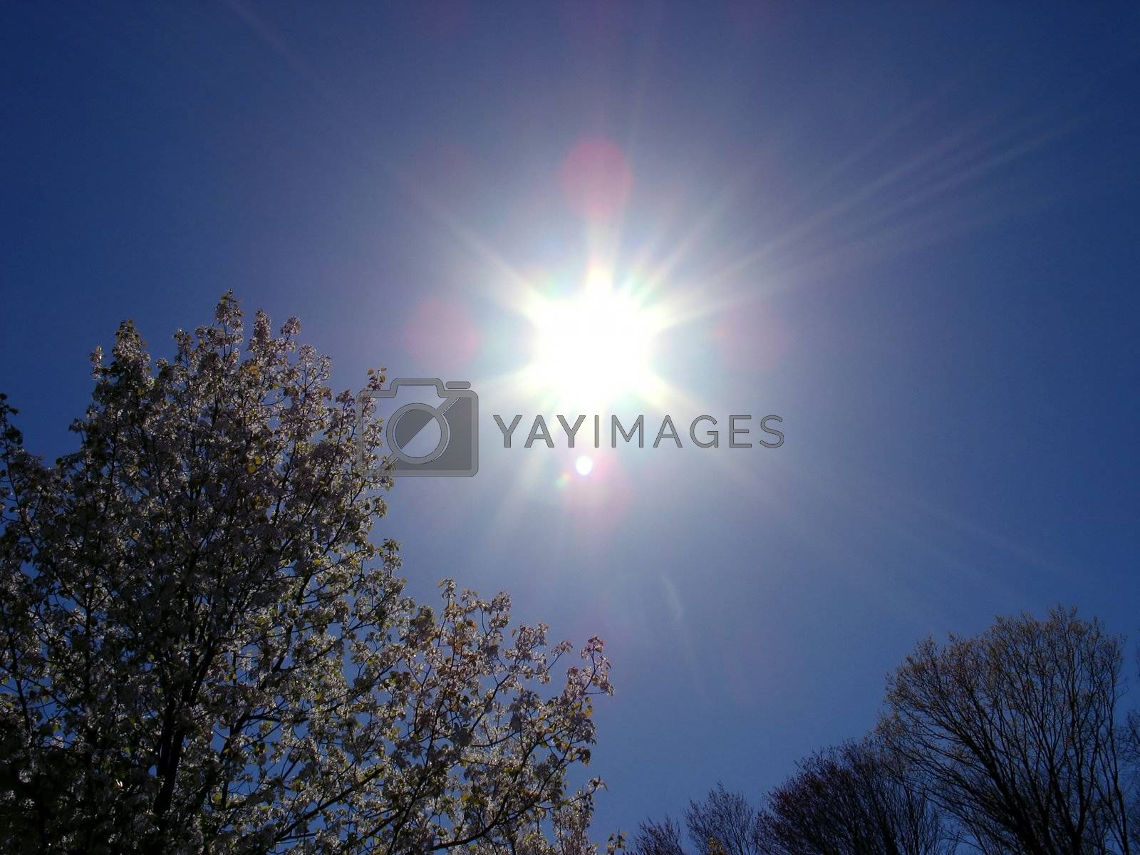 A beautiful lens flare over some blossoming trees in the springtime.