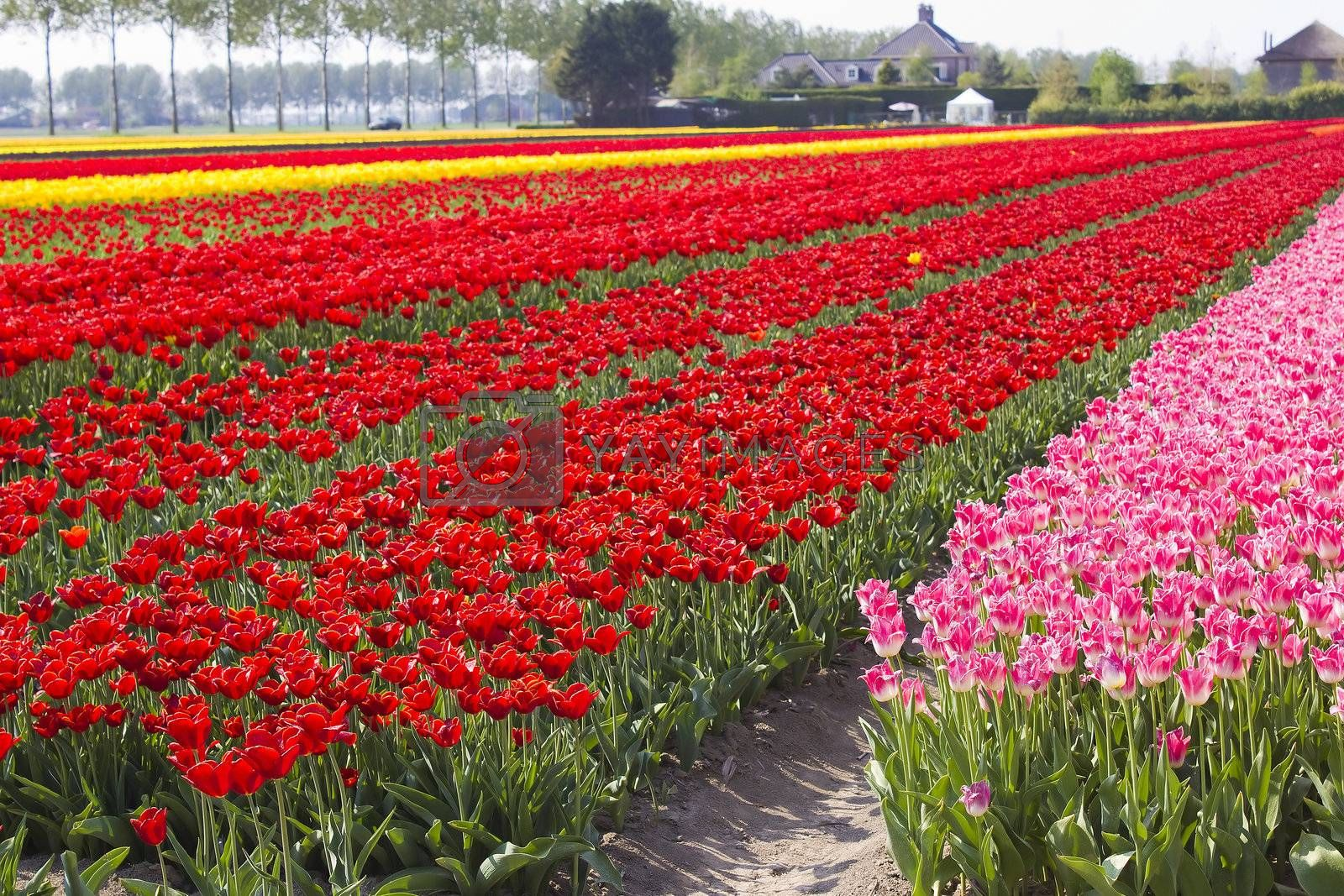 Multi colored tulip field in the Netherlands