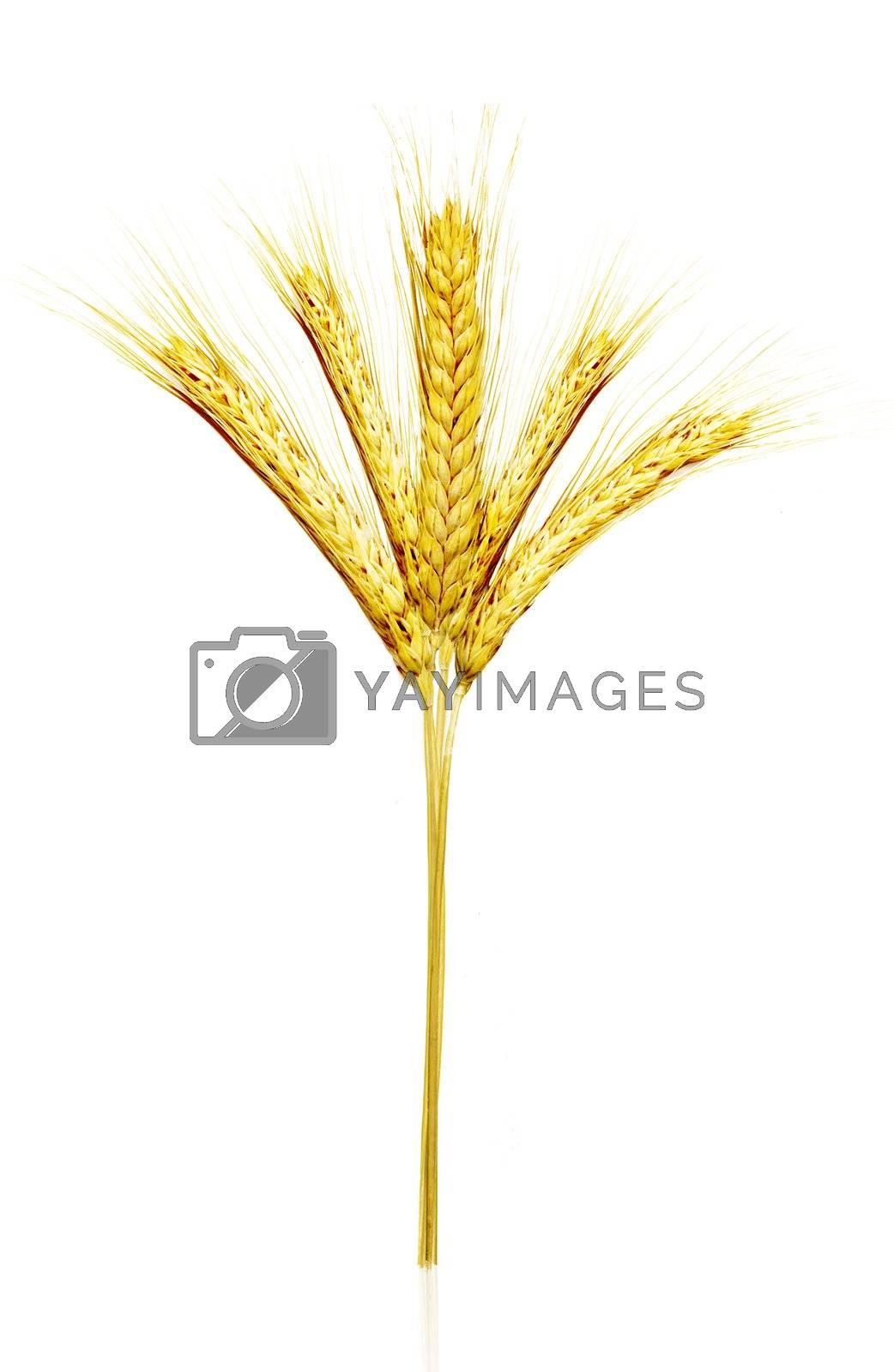 Beautiful Scaned Golden wheat isolated on white