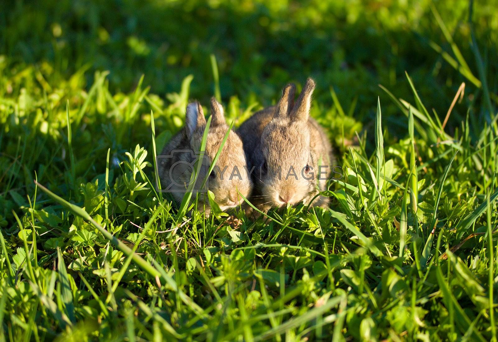 two gray bunnies on green grass background