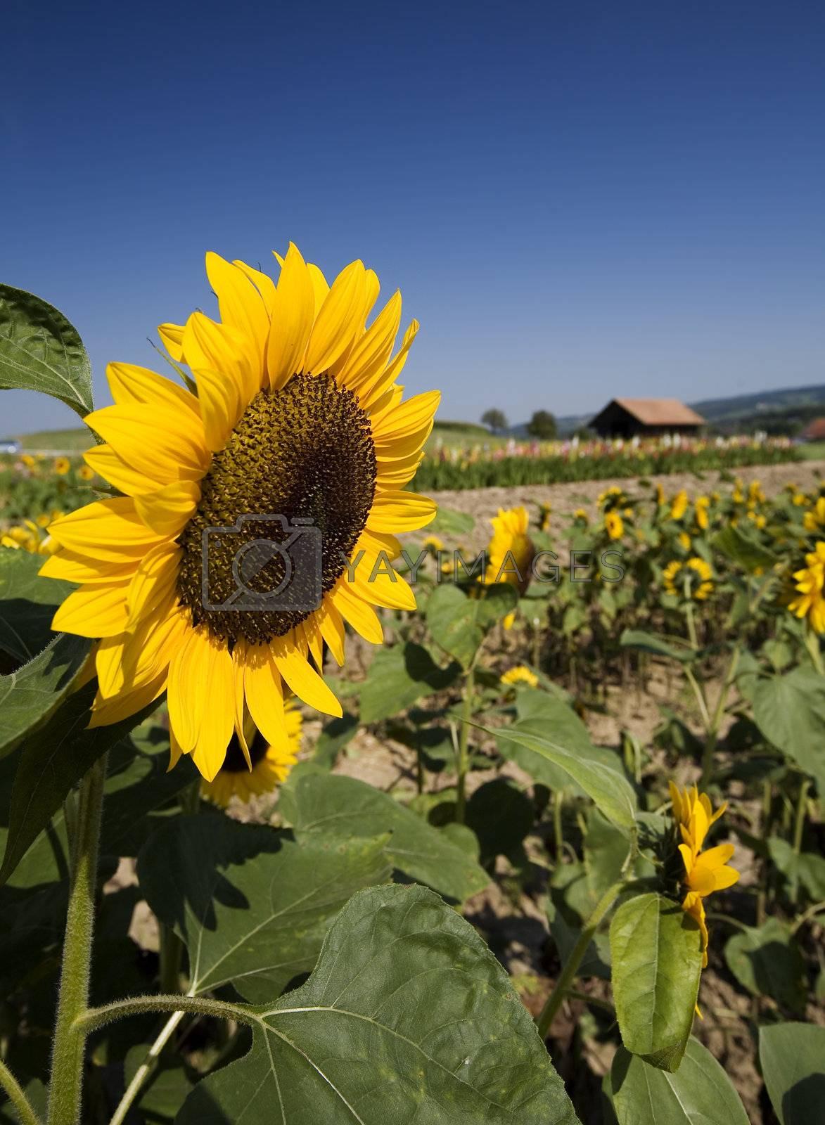 Summer field of sunflowers (France)