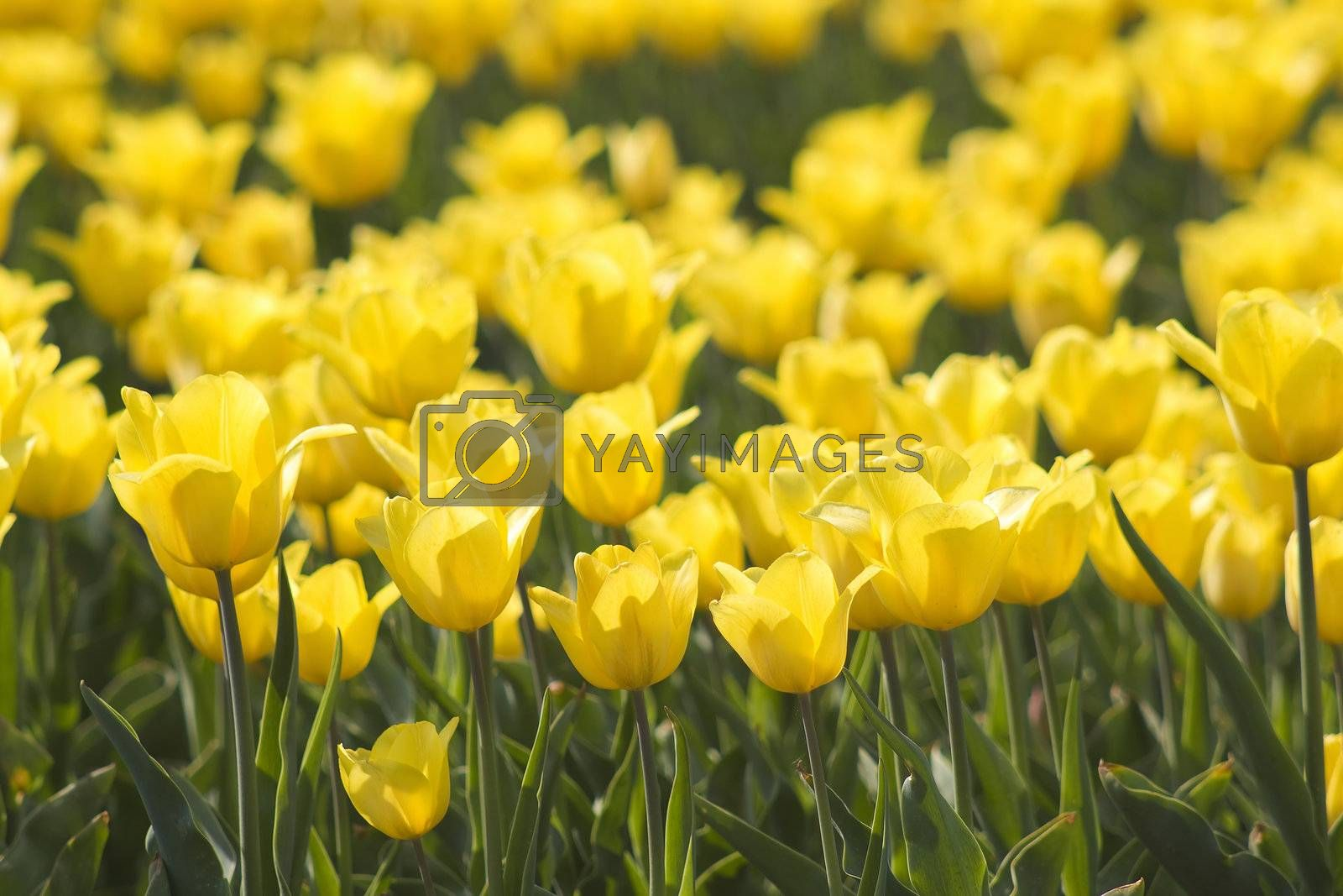A spring field with yellow tulips in the Netherlands