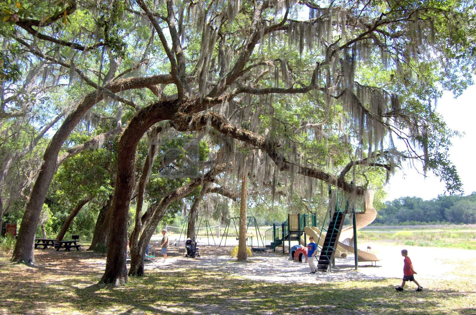 Spanish moss on trees at a kids playground