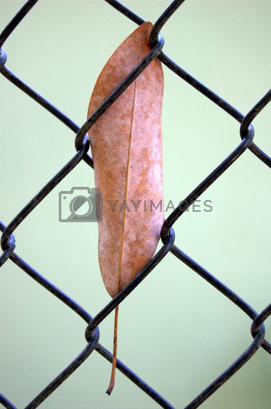 Leaf stuck in a chain link fence