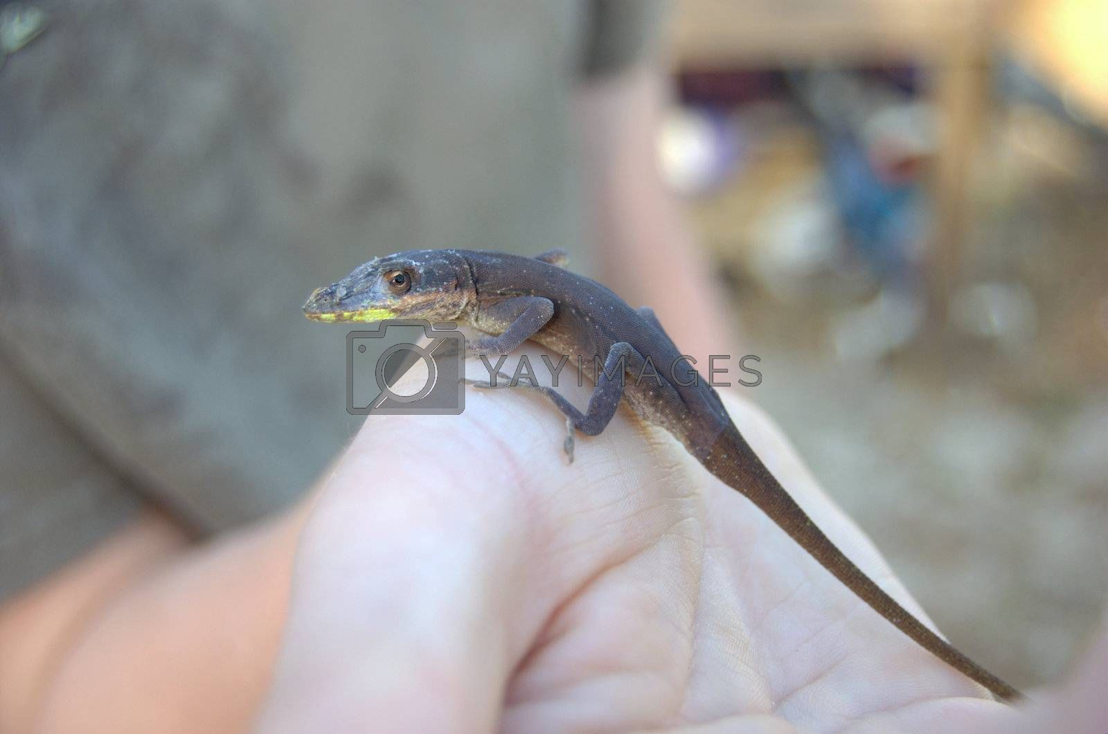 lizard being held on hand