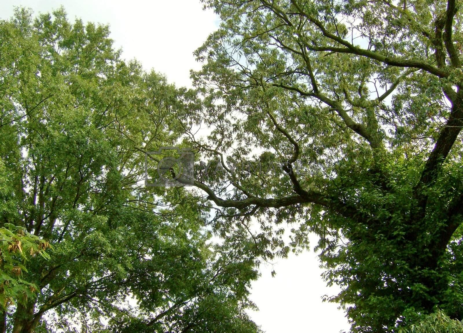 A pair of oak trees probably over 100 years old with branches that get green with moss every summer.