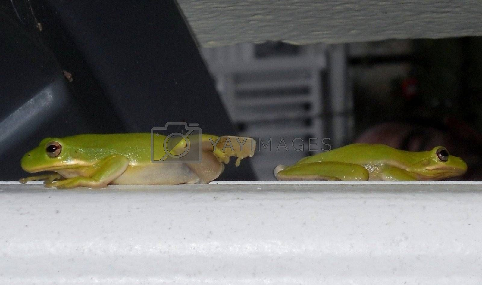 American tree frogs often come out and mate just after warm summer rains. Here, two have met up on a downspout.