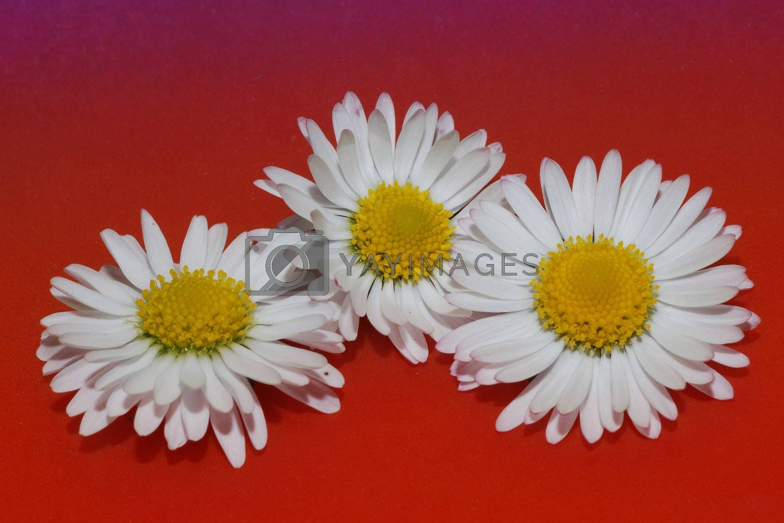 great view of three daisy on red background