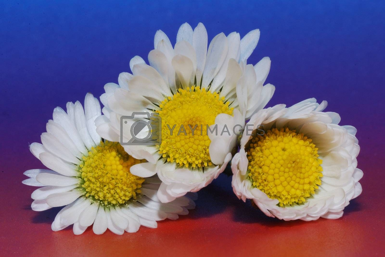 three beautiful daisy background with colored