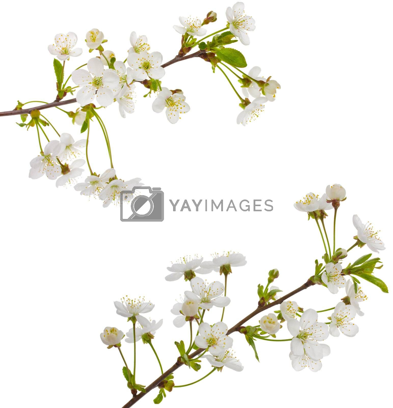 close-up blooming cherry branches, isolated on white