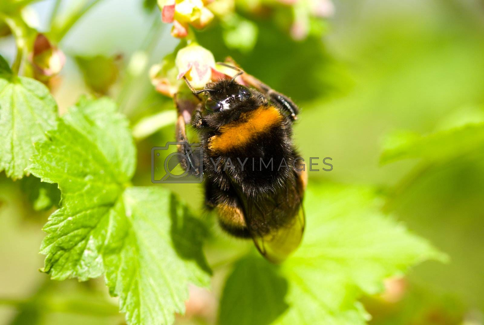 bumblebee pollinating flowers on green background
