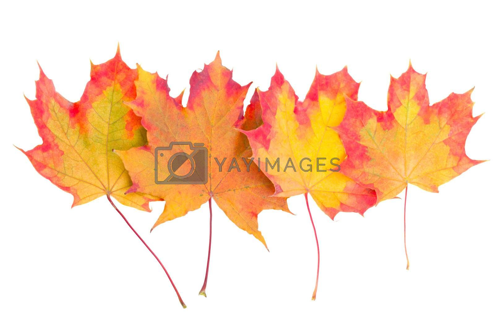 multicolored autumn maple leaves