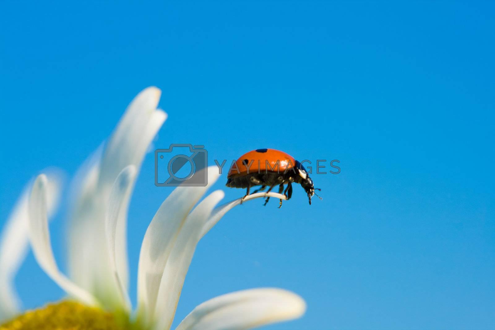ladybird on chamomile petal by Alekcey