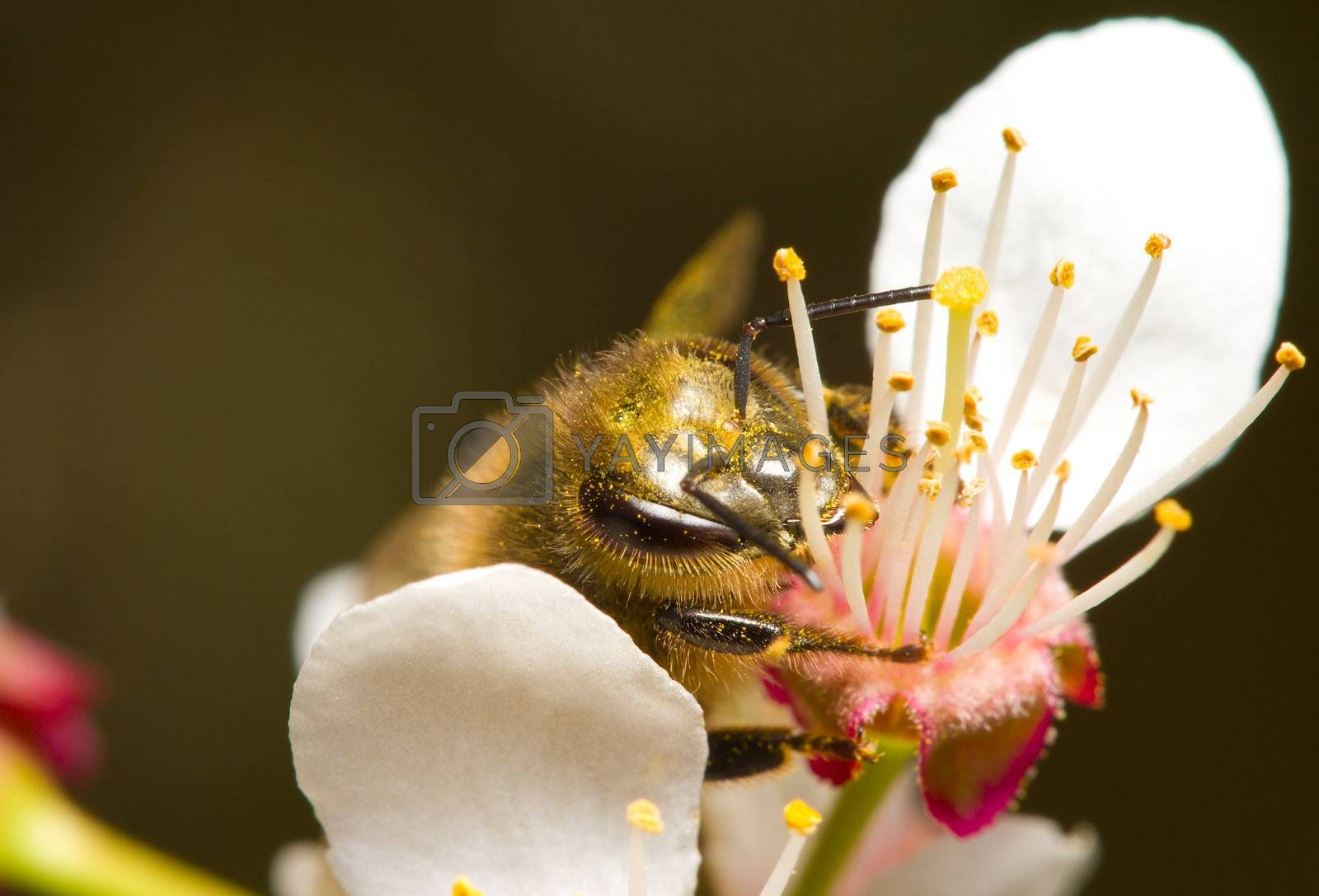 honeybee pollinating flowers, macro shot