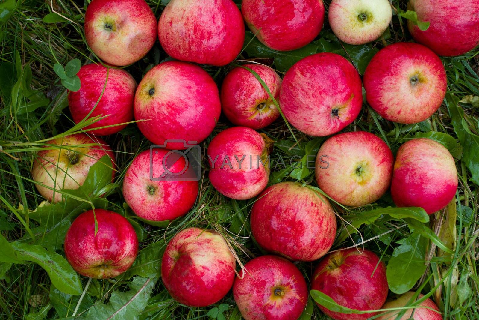 ripe red apples in green grass