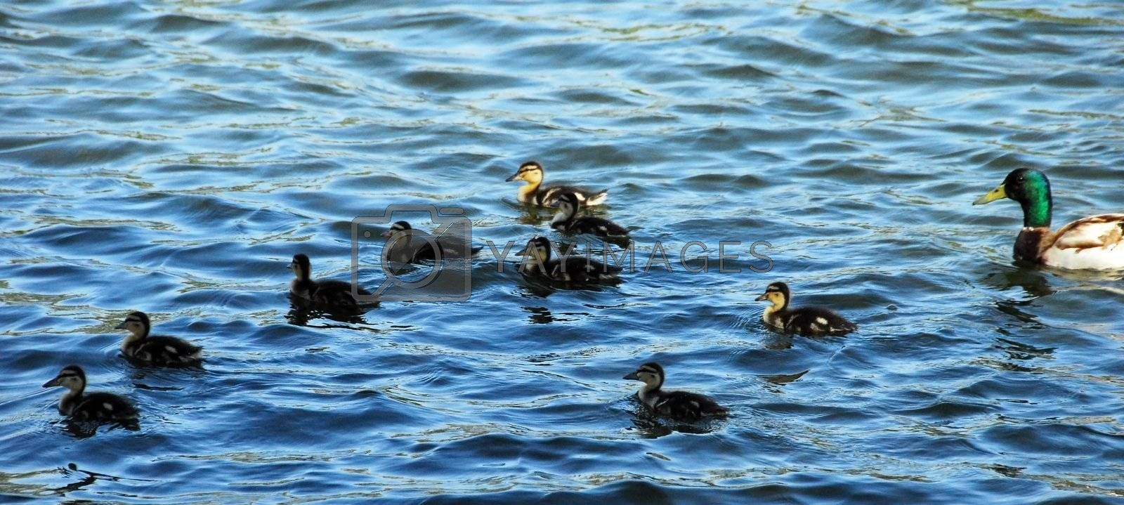 brown Mallard Duck Family including male and babies