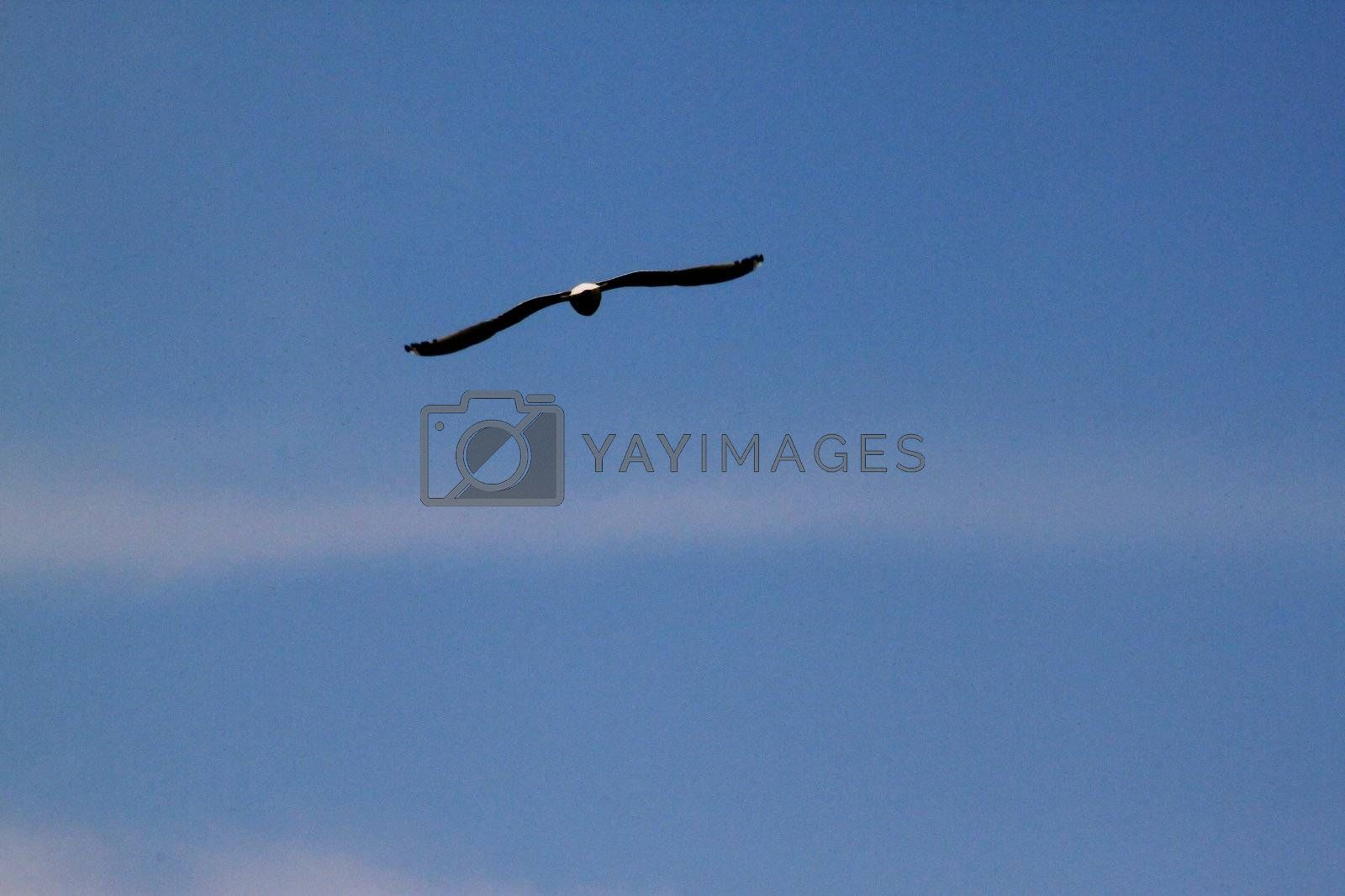 Hawk flying high above at sunset on cloud background