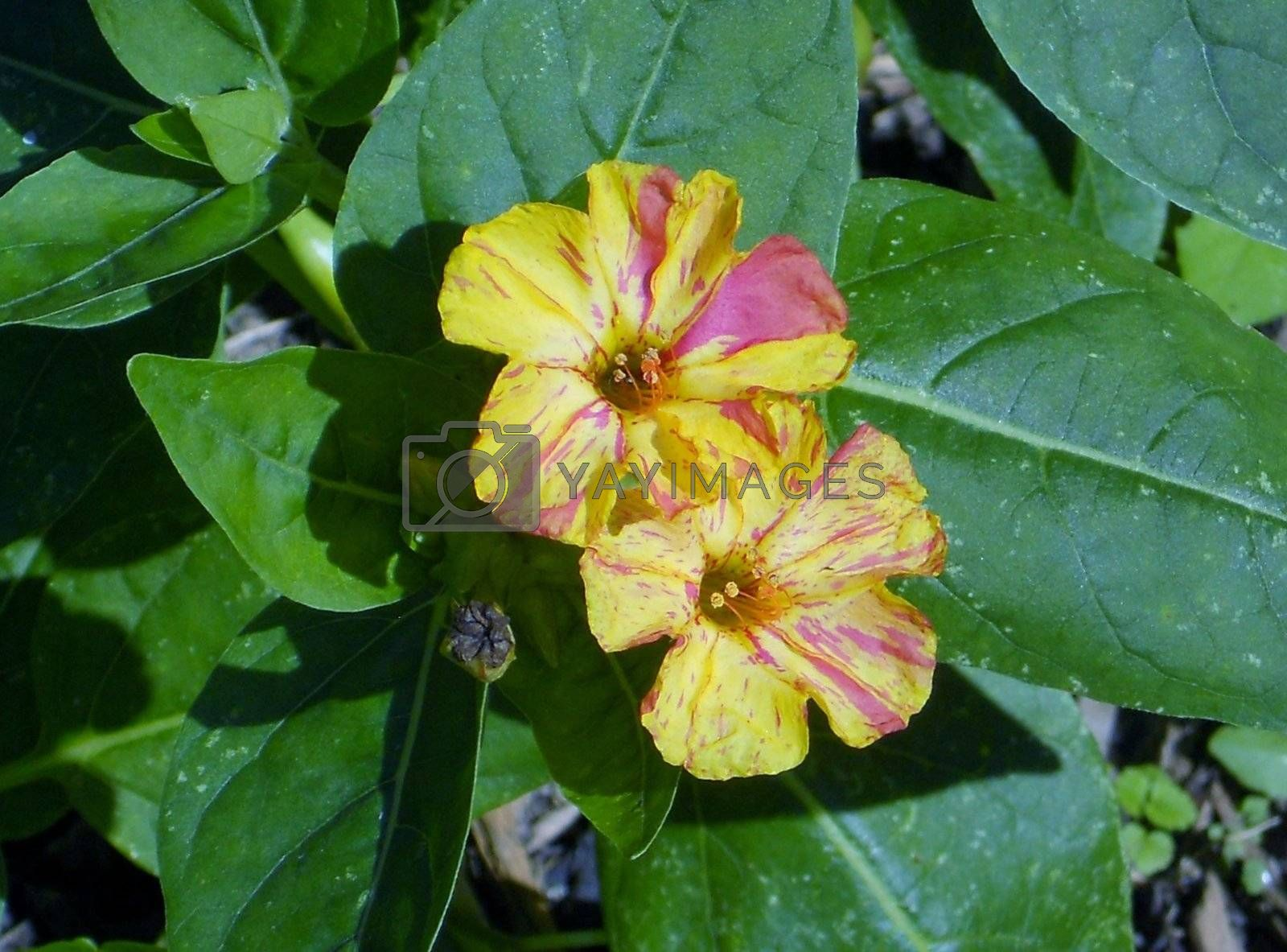 An unusual yellow and pink mix variety of traditional red Four O'Clocks