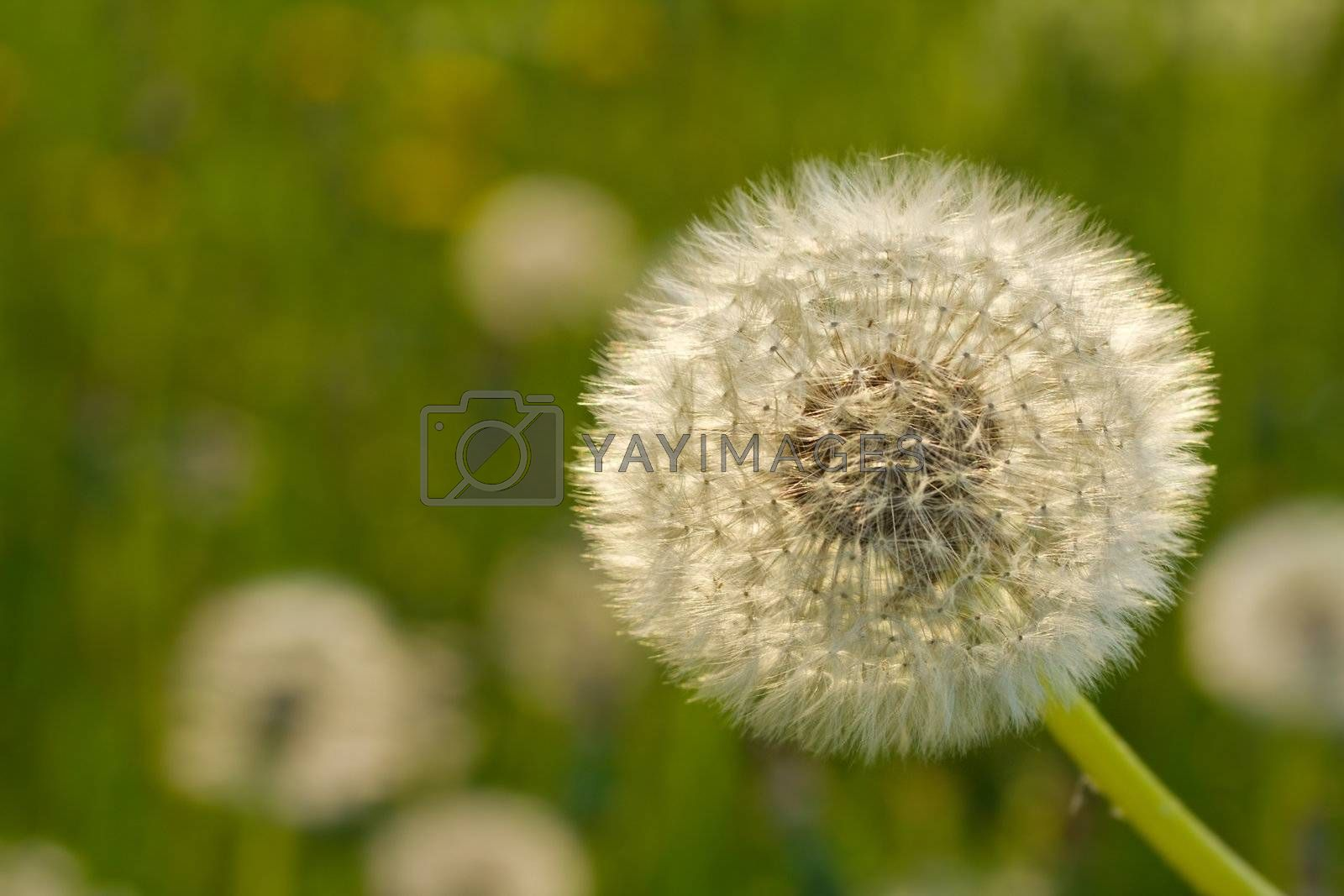 close-up dandelion on green background