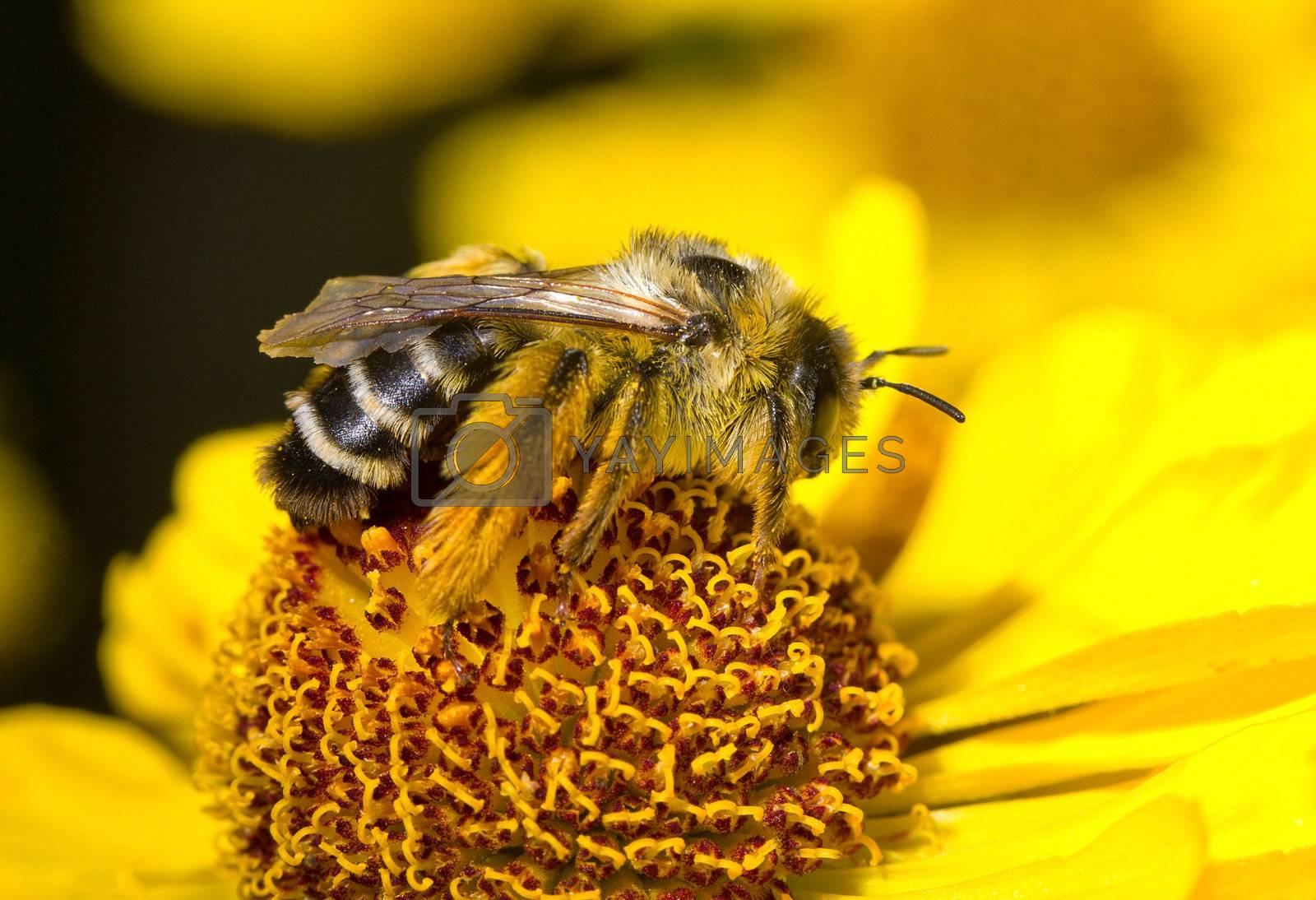 bumblebee on flower, macro shot
