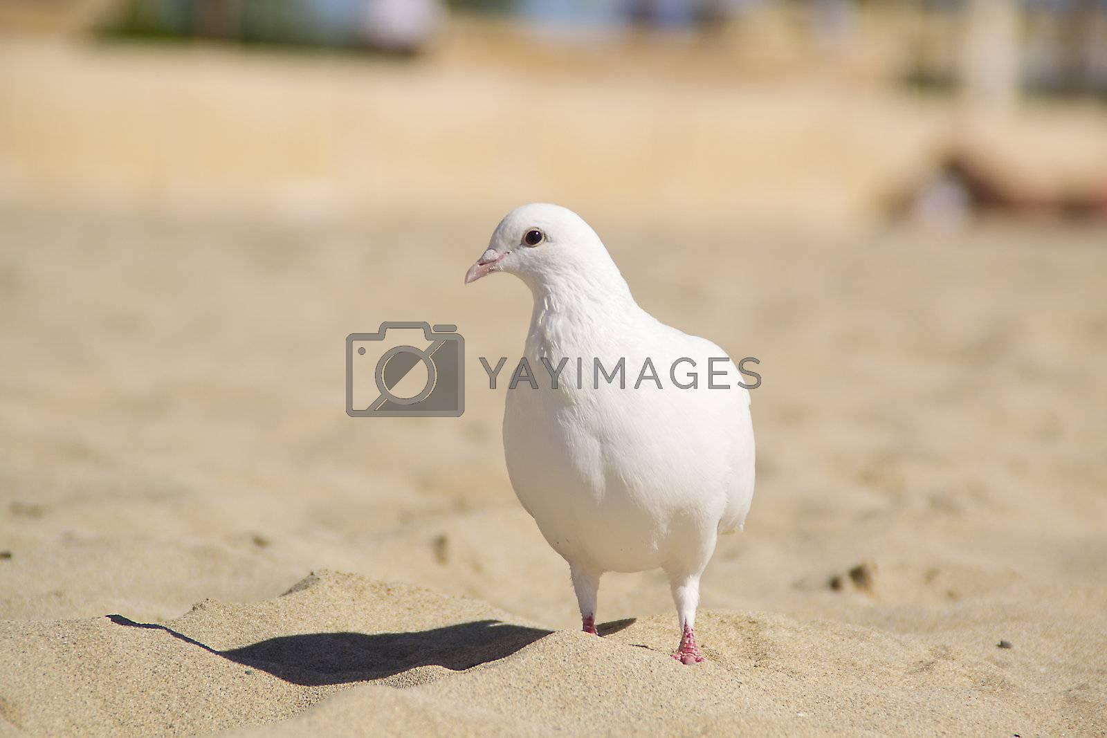white pingeon at the beach