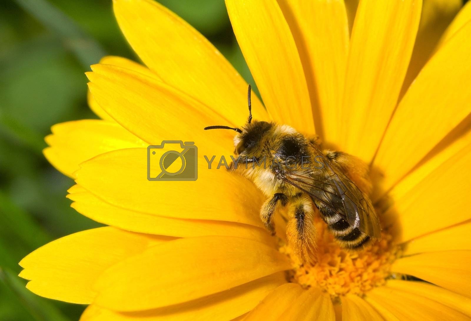 bumblebee collecting nectar on yellow flower