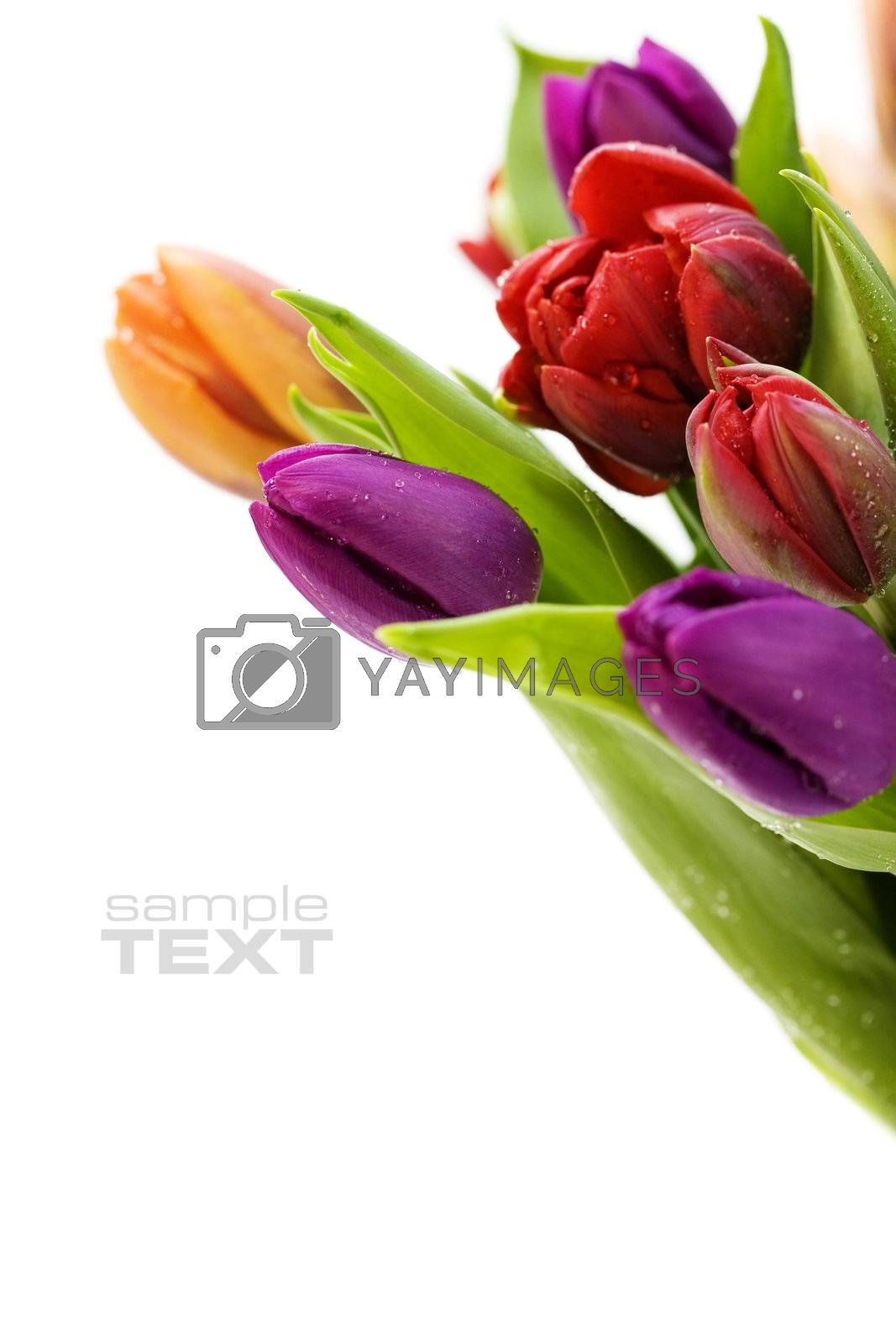 fresh tulips with water droplets on white background. With sample text