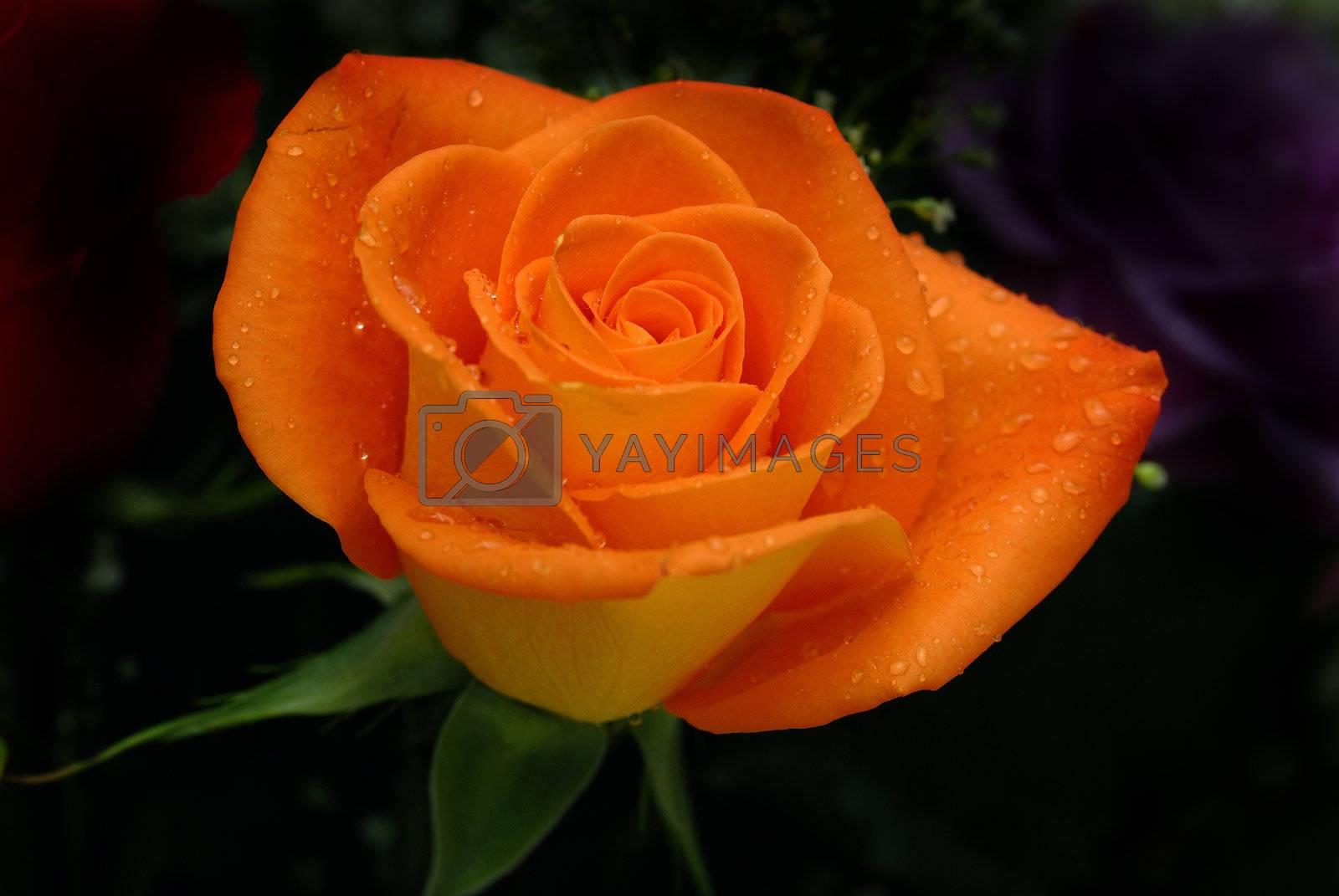 Orange Rose by pazham